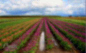 tulips_2560x1600